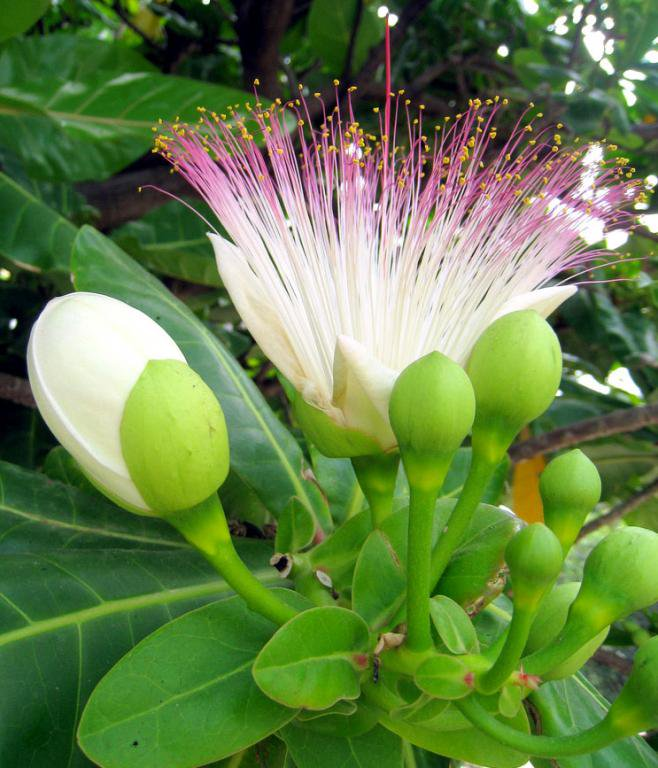 サガリバナの仲間 優美な糸状花に碁盤の脚の実 ゴバンノアシ中苗(実生3年以上):1苗
