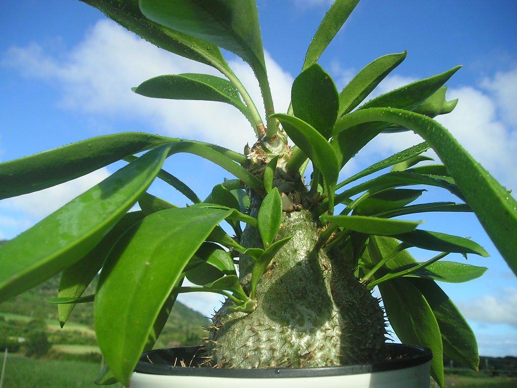 素晴らしい塊茎(Caudex)!! ミルメコディア・ベッカリー:Myrmecodia beccariiの採れたて種:1包(3…
