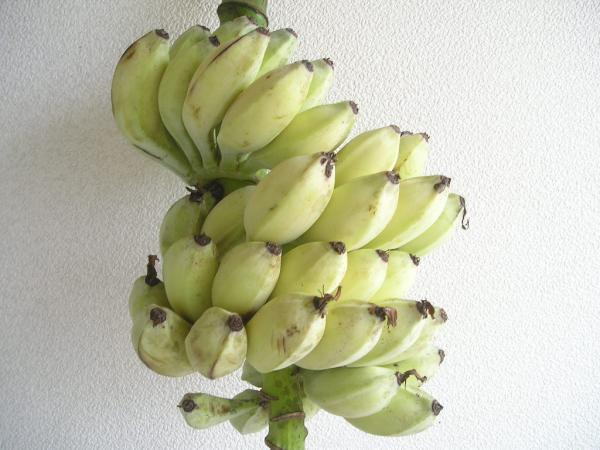 石垣島の種ありバナナの苗(地堀苗:10号鉢相当以上):1苗