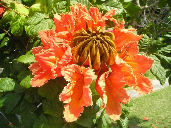 カエンボク(火炎木)赤花の実生中苗:1苗