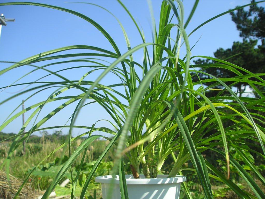 流通のない ヒメタコノキの特選苗(草丈40cm程度  葉虫食い先端枯れあり 下の写真は成木):1苗