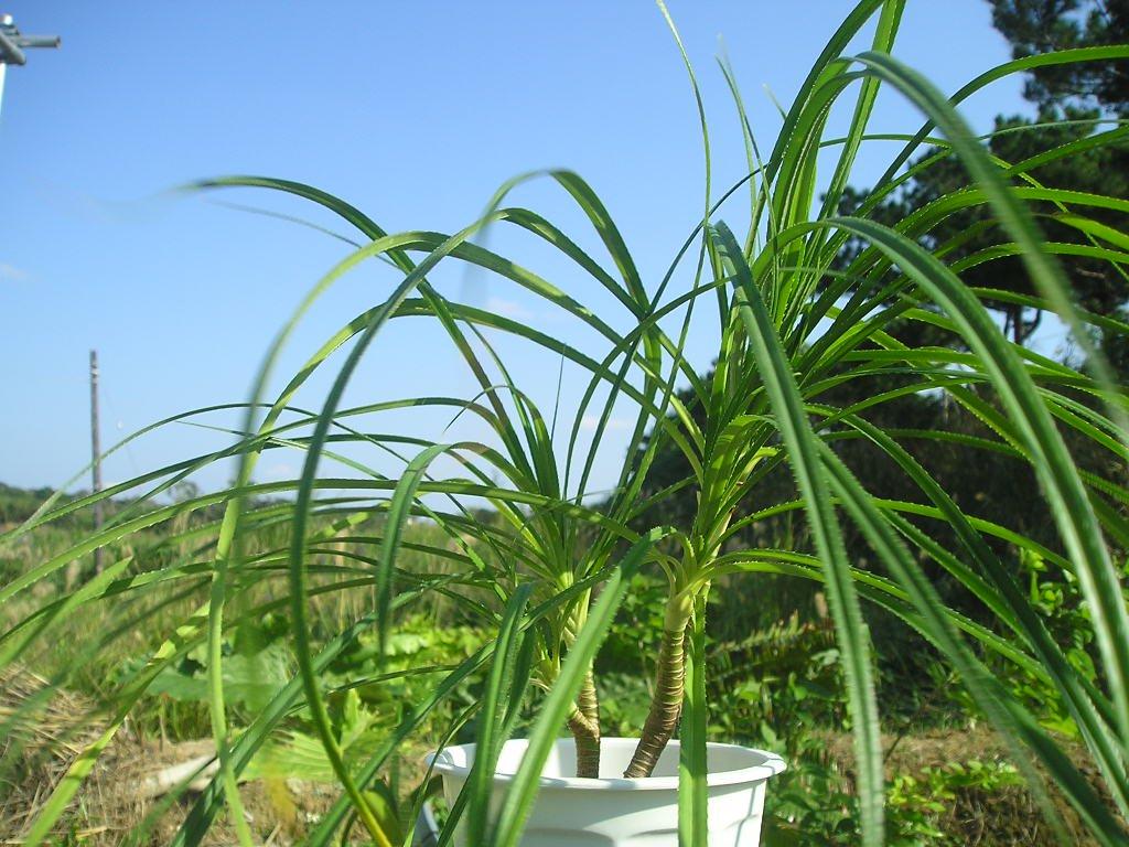 流通のない ヒメタコノキの特選苗(草丈30cm程度 下の写真は成木):1苗
