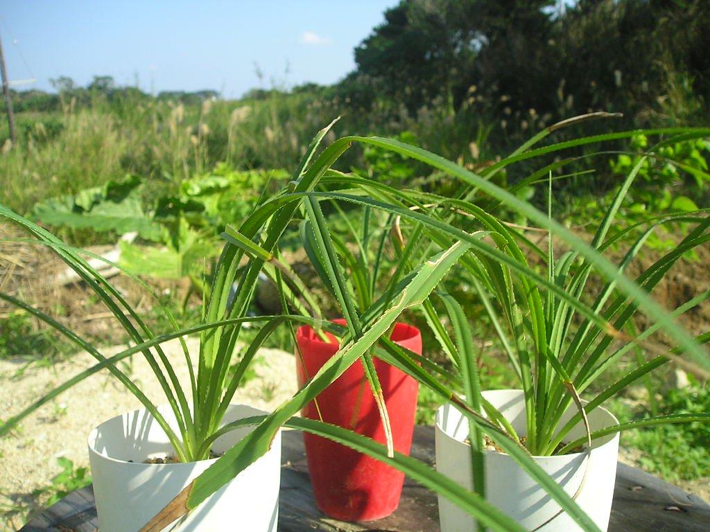流通のない ヒメタコノキの苗(草丈20cm程度 葉虫食い先端枯れあり 下の写真は成木):1苗