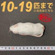冷凍アダルトマウス Lサイズ 10匹〜19匹ご注文