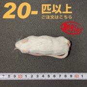 冷凍アダルトマウス Lサイズ 20匹以上ご注文