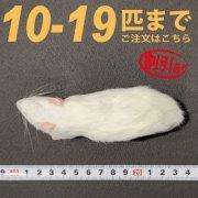 冷凍ラット Sサイズ 10匹〜19匹ご注文