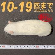 冷凍ラット Mサイズ 10匹〜19匹ご注文