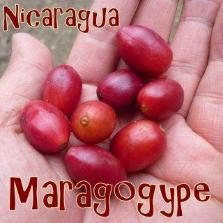 ニカラグア|モンテクリスト農園|マラゴジッペ| 2018/2019 生豆