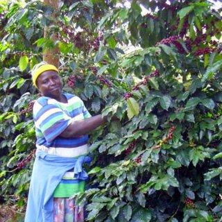 ジンバブエ|グレイトヴィクトリア|2014/2015|生豆