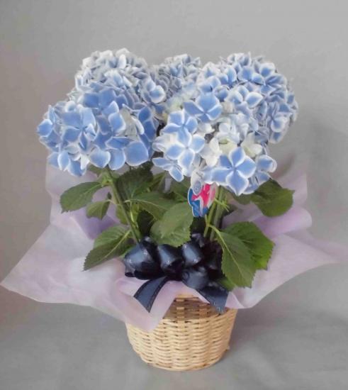 母の日おまかせ花鉢5000円【送料込】