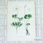 北欧の植物画 ボタニカルプリント A アネモネ スウェーデン製