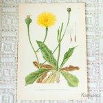 北欧の植物画 ボタニカルプリント C エゾコウゾリナ属 スウェーデン製