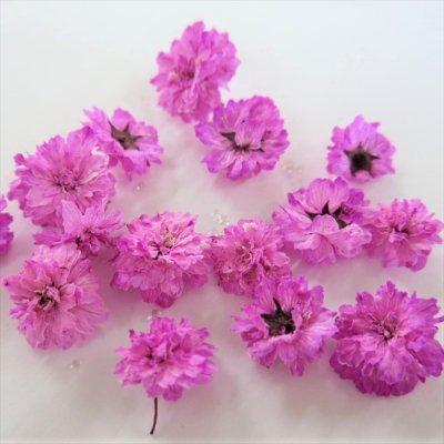 立体乾燥花 八重コデマリ  ピンク色