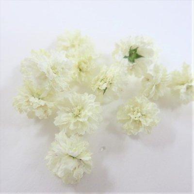 立体乾燥花 八重コデマリ  白色