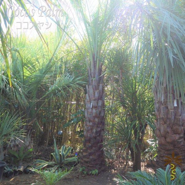 耐寒性 ヤシの木 ヤシ ココスヤシ シンボルツリー 約5m