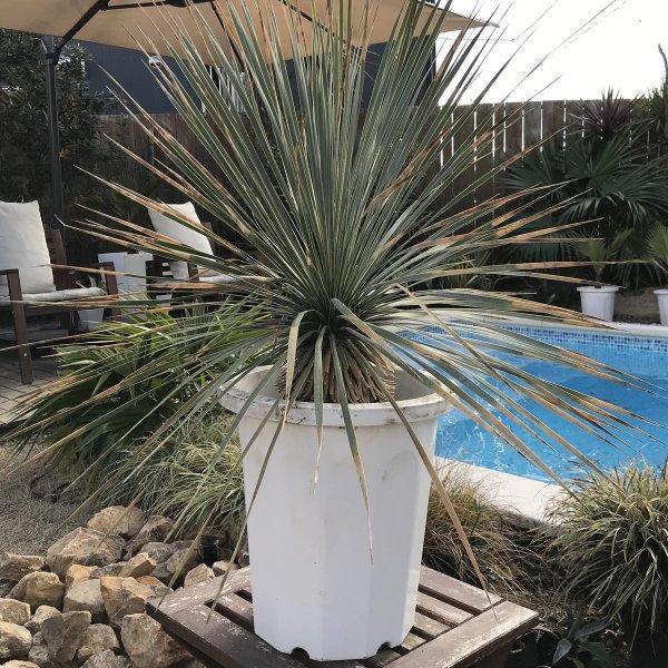 現品お届け ユッカロストラータ 耐寒観葉植物 85cm