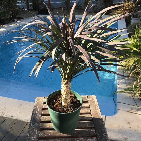 ユッカディスメティアーナ 耐寒性観葉植物