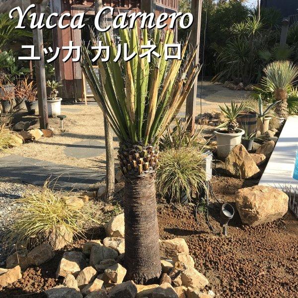 現品お届け ユッカ カルネロ 耐寒観葉植物 130cm