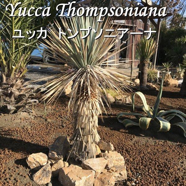 現品お届け ユッカ トンプソニアーナ 耐寒観葉植物 110cm