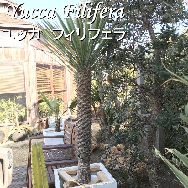 現品お届け ユッカ フィリフェラ 耐寒観葉植物 140cm