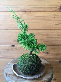 糸魚川シンパク苔玉
