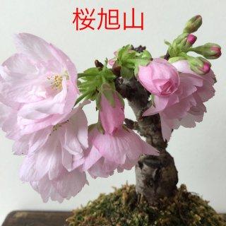 桜旭山苔玉