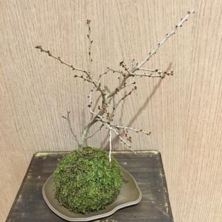 富士桜苔玉