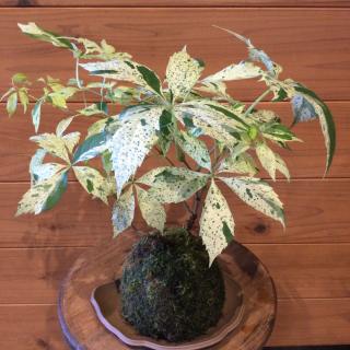 斑入りアメリカヅタ苔玉