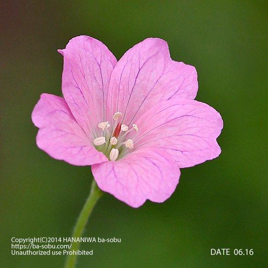 ゲラニウム ワーグレーブ ピンク