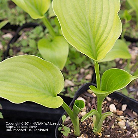 ギボウシ プランタギネア ビーナス【大型種/八重咲き白花】