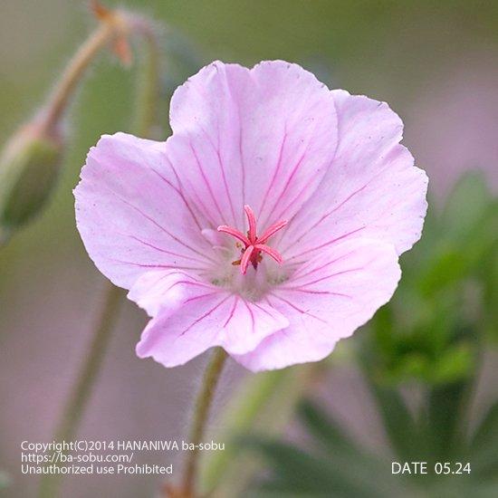 ゲラニウム サンギネウム ssp. ストリアタム
