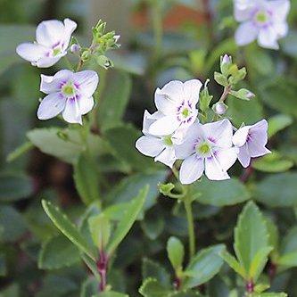 パラヘーベ リアリィ 白花