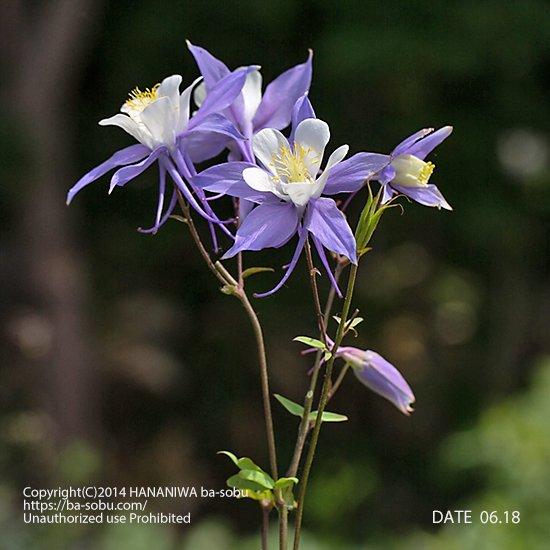 オダマキ ヘブンリー ブルー(アキレギア)