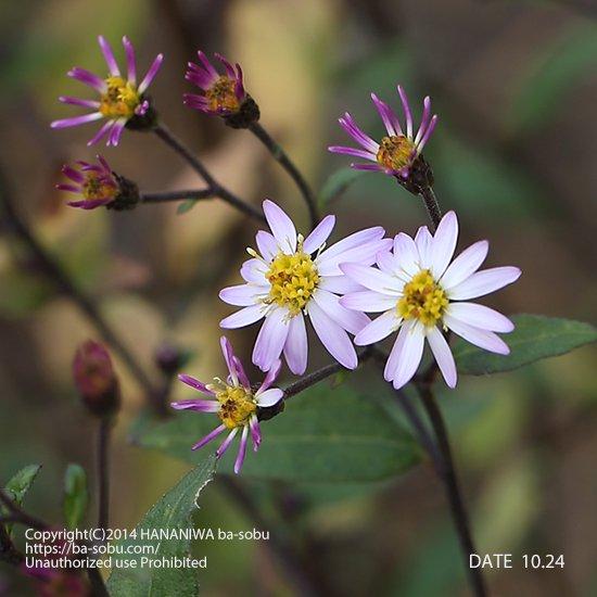 キヨスミシラヤマギク(清澄白山菊)