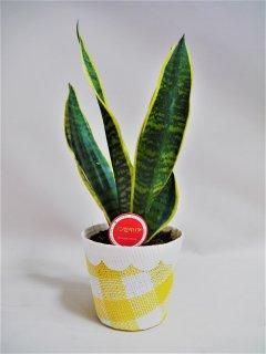 サンスベリア鉢植え