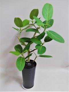 フィカス ベンガレンシス鉢植え