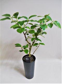 フィカス ルビキノーサ鉢植え