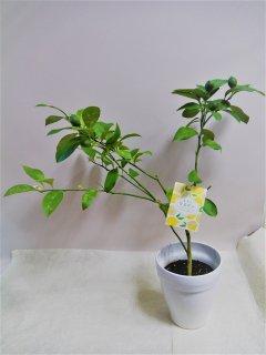 レモン リスボン鉢植え
