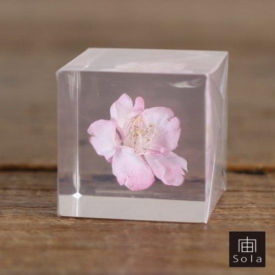 【2017年3月上旬頃入荷予定】宙-sola- Sola cube サクラ(カワヅザクラ)