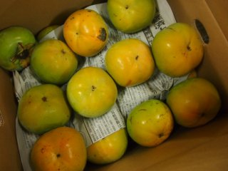 旬八ボックス(お値打ち!ワケあり太秋柿 和歌山産 産直 2.5kg / 4.5kg)※送料込