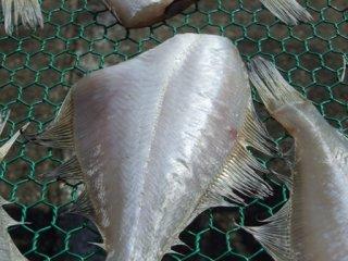 干物 日本海の魚 新潟 魚 肴 宗八カレイ ソウハチガレイ 一夜干し