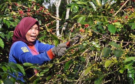 インドネシア・スマトラ島・マンデリン・G1