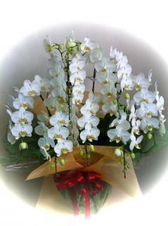 小輪胡蝶蘭/ホワイトハニー