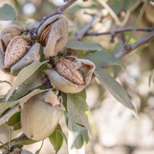 アーモンドスイート植物油(天然キャリアオイル)