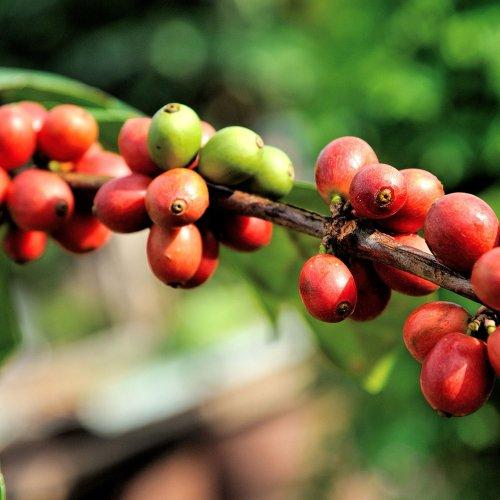 コーヒーアロマ精油(天然エッセンシャルオイル)