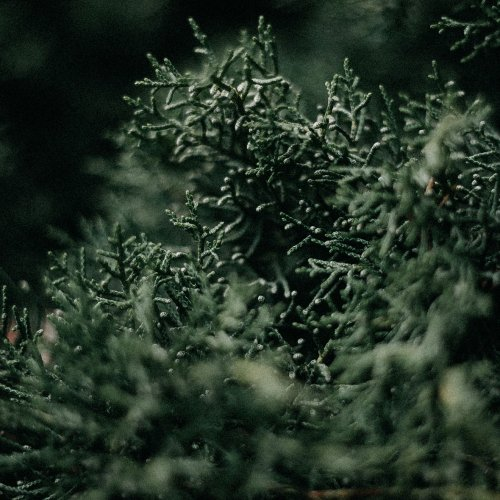 シダーウッドヴァージニアアロマ精油(天然エッセンシャルオイル)