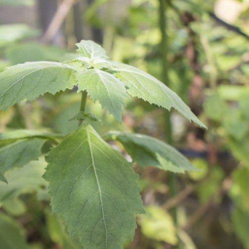 パチュリーアロマ精油(天然エッセンシャルオイル)