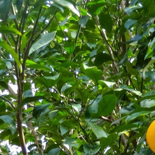 プチグレンアロマ精油(天然エッセンシャルオイル)