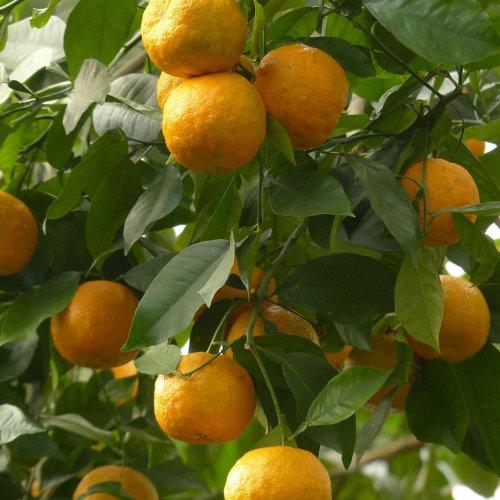 ビターオレンジアロマ精油(天然エッセンシャルオイル)