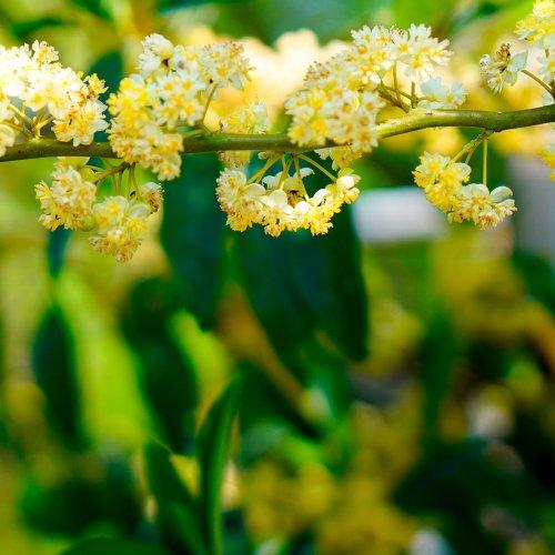 リッツァクベバアロマ精油(天然エッセンシャルオイル)
